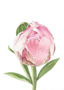 Bloemenkaart | Pioenroos