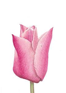 Bloemenkaart | Tulp